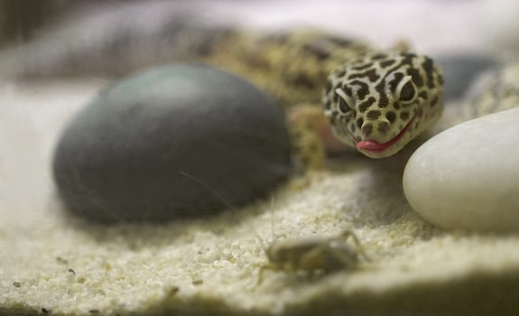 hungry leopard gecko