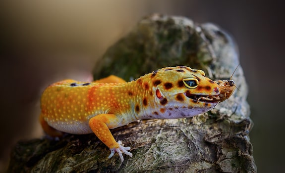 leopard gecko eating