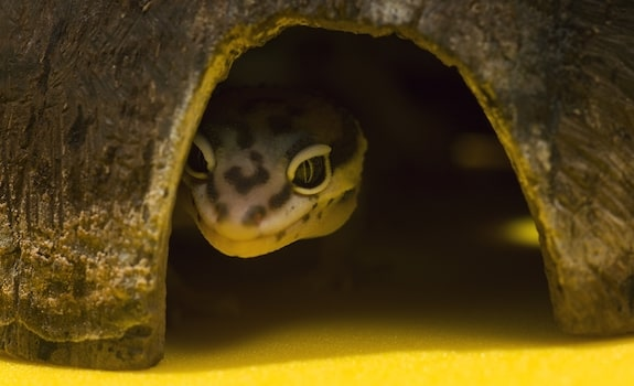 leopard gecko not eating