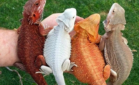 Bearded Dragon Colors