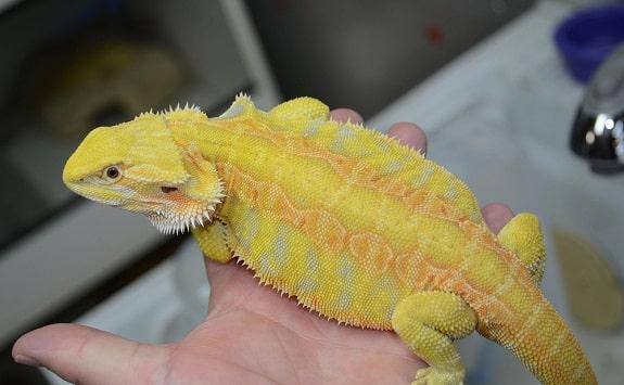 Citrus Leatherback Bearded Dragon