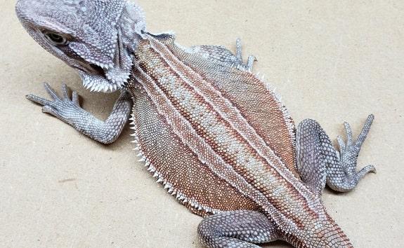 Leatherback Normal Genetic Stripe Het Hypo Trans Zero