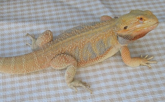 Hypomelanistic Bearded Dragon