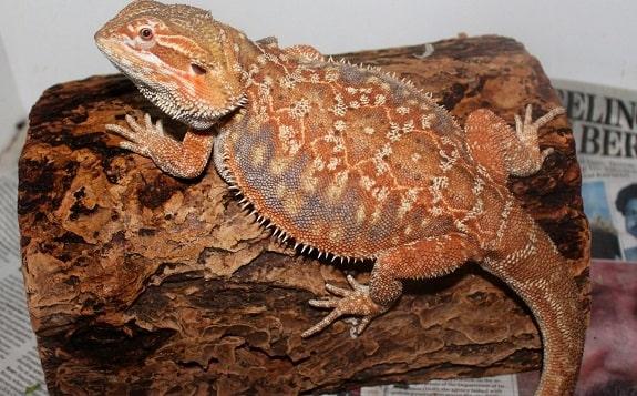 Leather Back Dunner Bearded Dragon