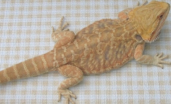 Microscale Bearded Dragon