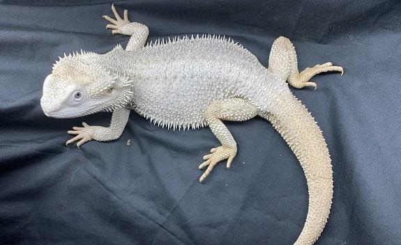 Zero Bearded Dragon