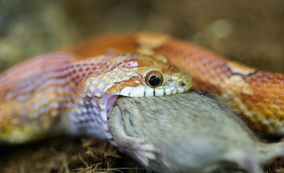 corn snake eating rat
