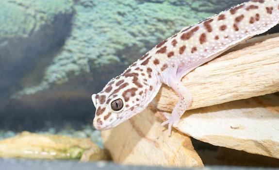 leopard gecko enclosure