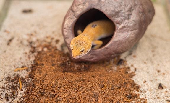 leopard gecko hide