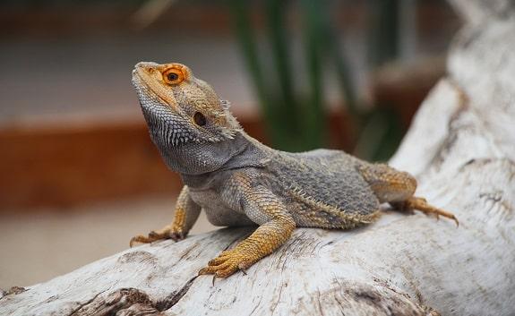 Bearded Dragon Pet Lizard