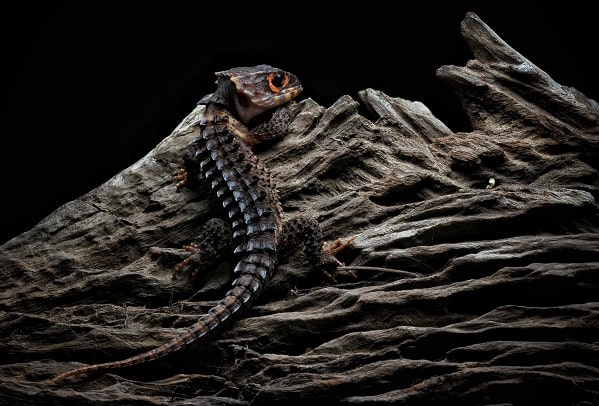 Red Eyed Crocodile Skink Climbing