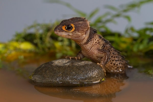 Red Eyed Crocodile Skink Habitat