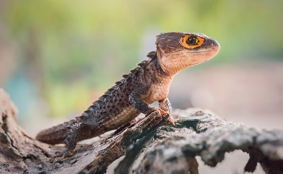 Red Eyed Crocodile Skink on Branch