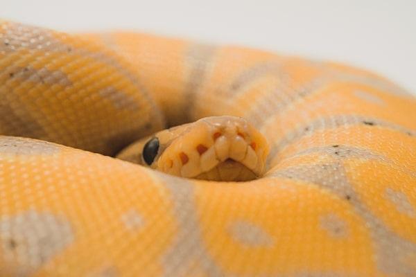 Banana Ball Python Care
