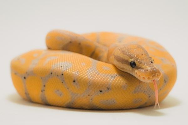 Banana Ball Python Pet