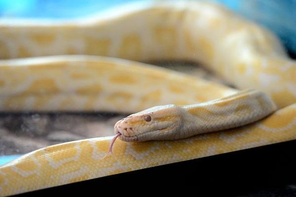 Banana Ball Python Temperament