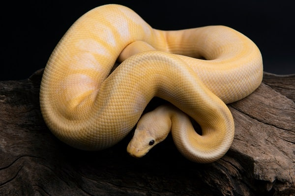 Banana Ball Python tank