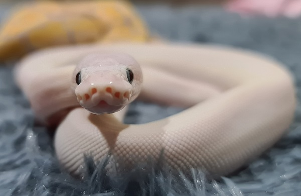 Blue Eyed leucistic Ball Python On Rug