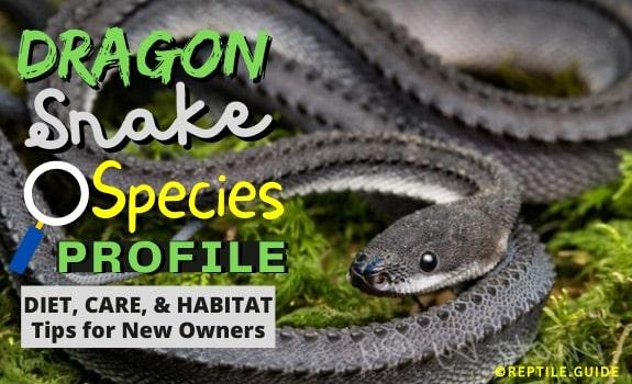 Dragon snake care