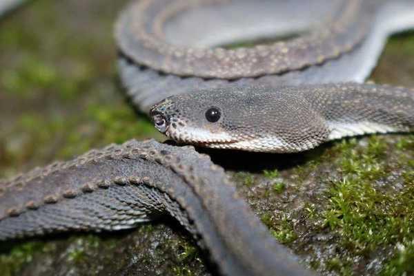 Dragon snake face