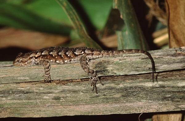 Eastern Fence Lizard Sceloporus undulatus
