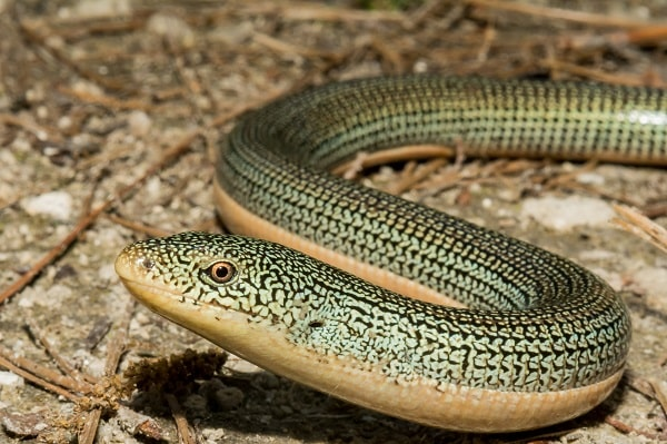 Eastern Glass Lizard