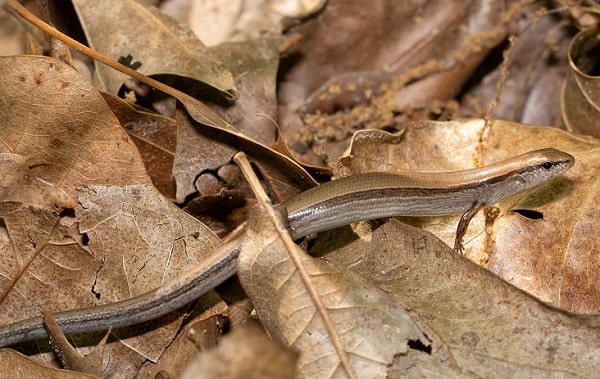 Ground Skink Scincella lateralis