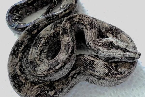 Tarahumara Boa Constrictor