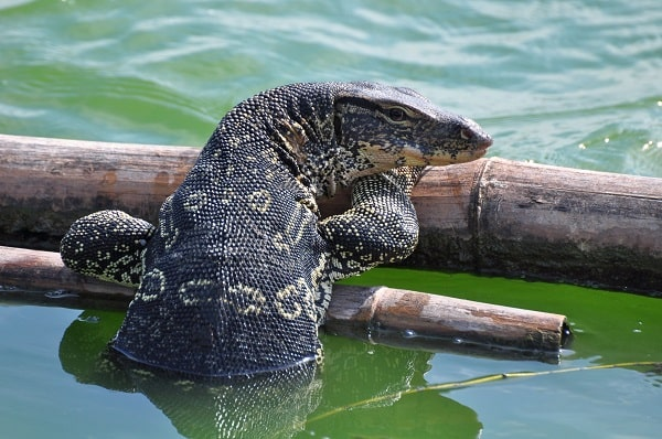 Asian Water Monitor In Water