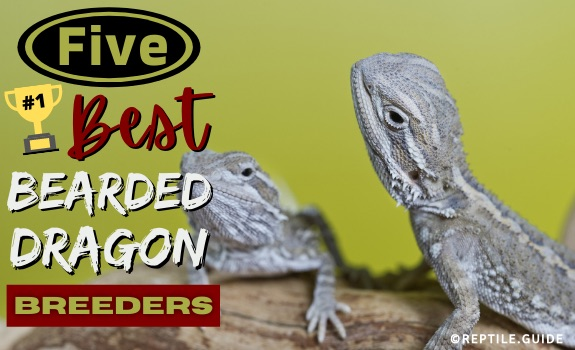 Best bearded dragon breeders