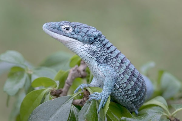 Blue Mexican Alligator Lizard in Rainforest