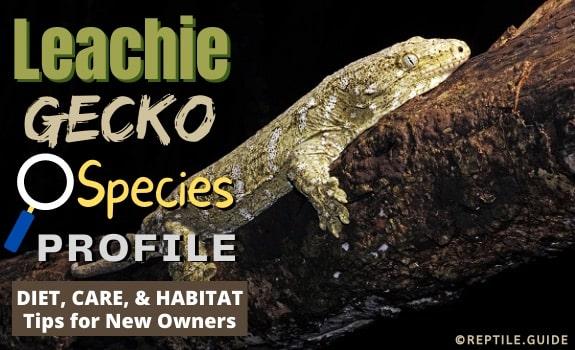 Leachie Gecko
