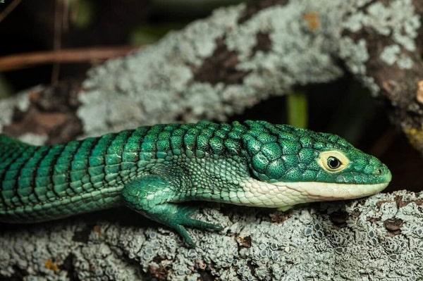 Mexican Alligator Lizard Basking