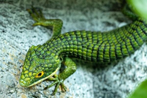 Mexican Alligator Lizard On Rock