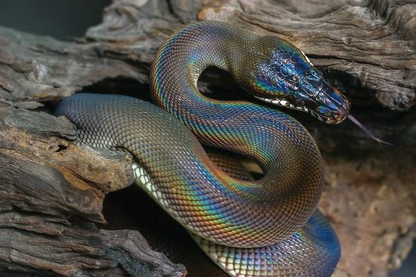 S Shaped White Lipped Python