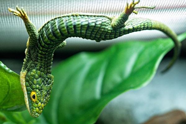 Upside Down Mexican Alligator Lizard