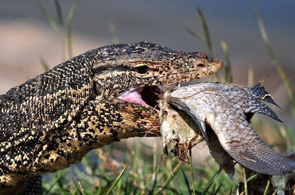 Water monitor lizard eating fish