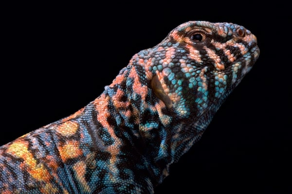 What is a uromastyx