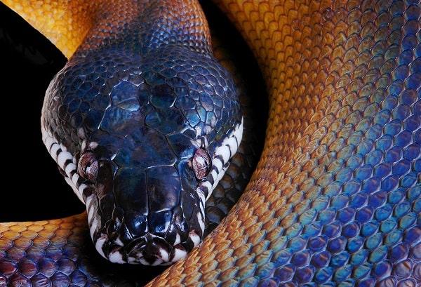 White Lipped Python Close Up