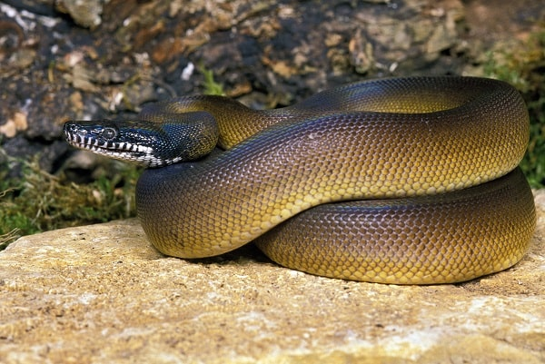 White Lipped Python On Rock