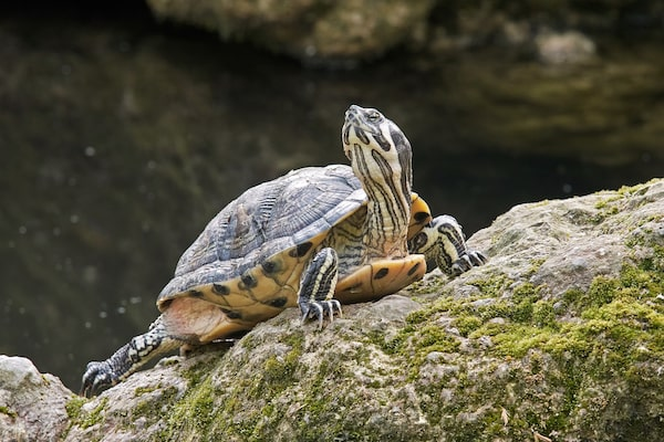 Wild Yellow-Bellied Slider