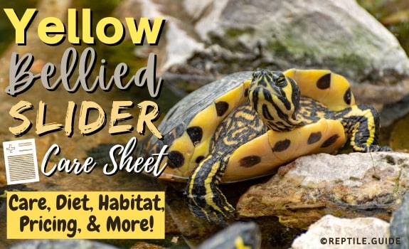 Yellow-Bellied Slider Care