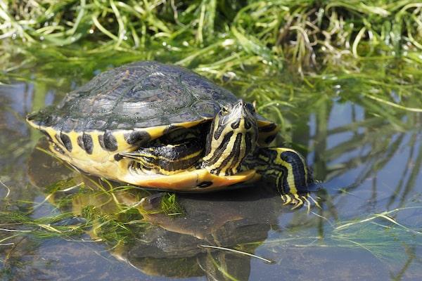 Yellow-Bellied Slider in pond