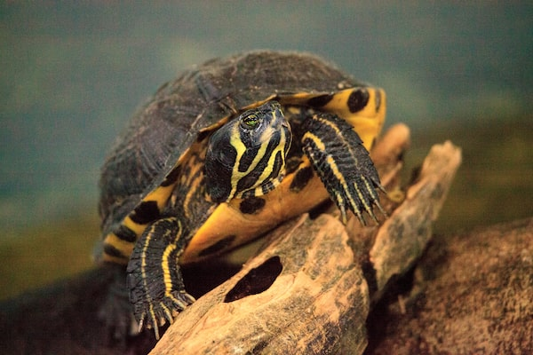 Yellow-Bellied Slider in tank