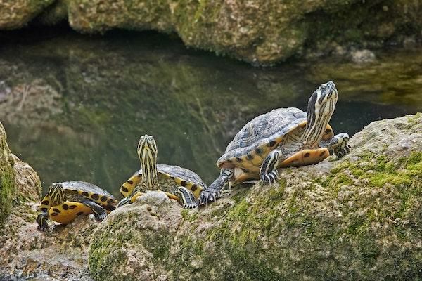 Yellow-Bellied Sliders in natural habitat