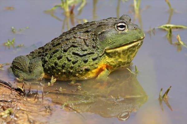 African Giant Bullfrog In Water