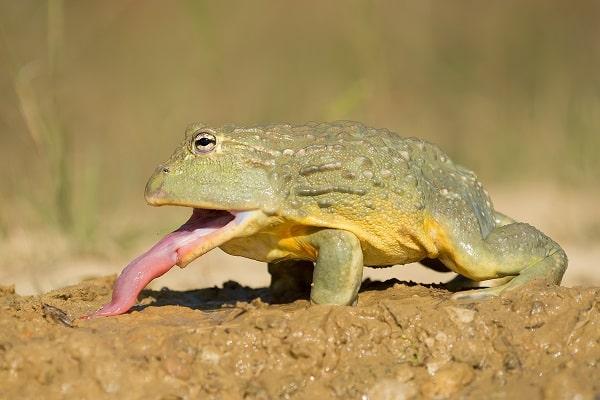 African bullfrog Eating Prey