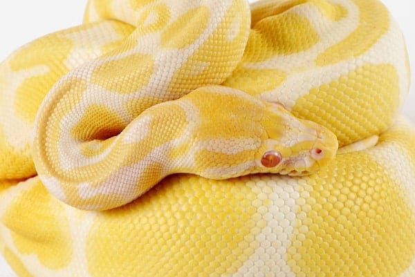 Albino Ball Python Close Up