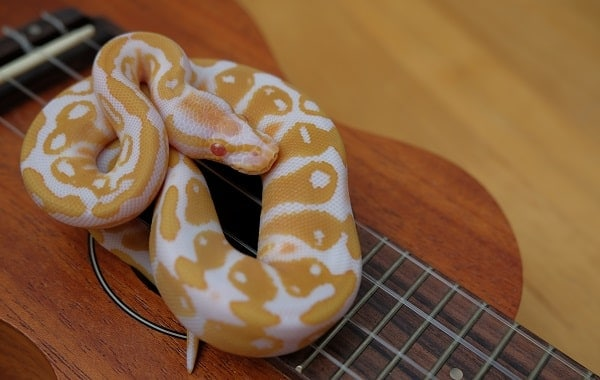 Albino Ball Python On Ukulele