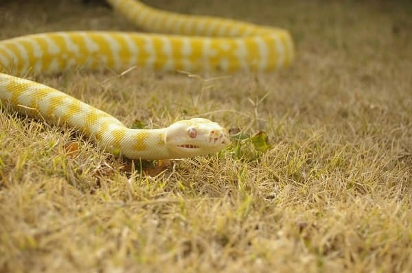 Albino Ball Python Outside In Grass
